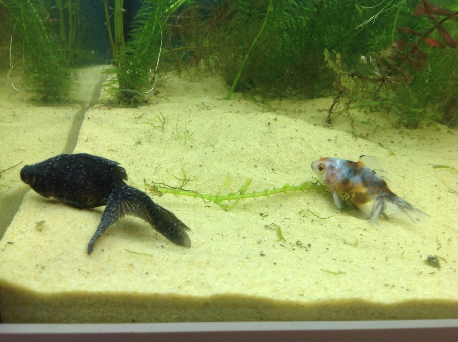 Do my fish have ich and how can i treat it just got the for How do i treat ich in my fish tank
