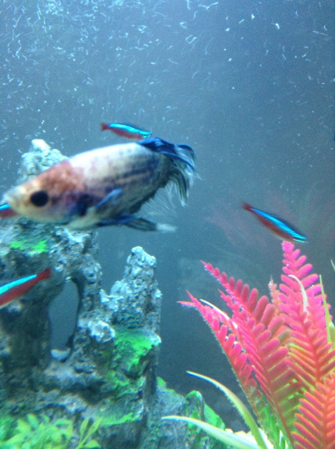 Dying Betta😭 | My Aquarium Club