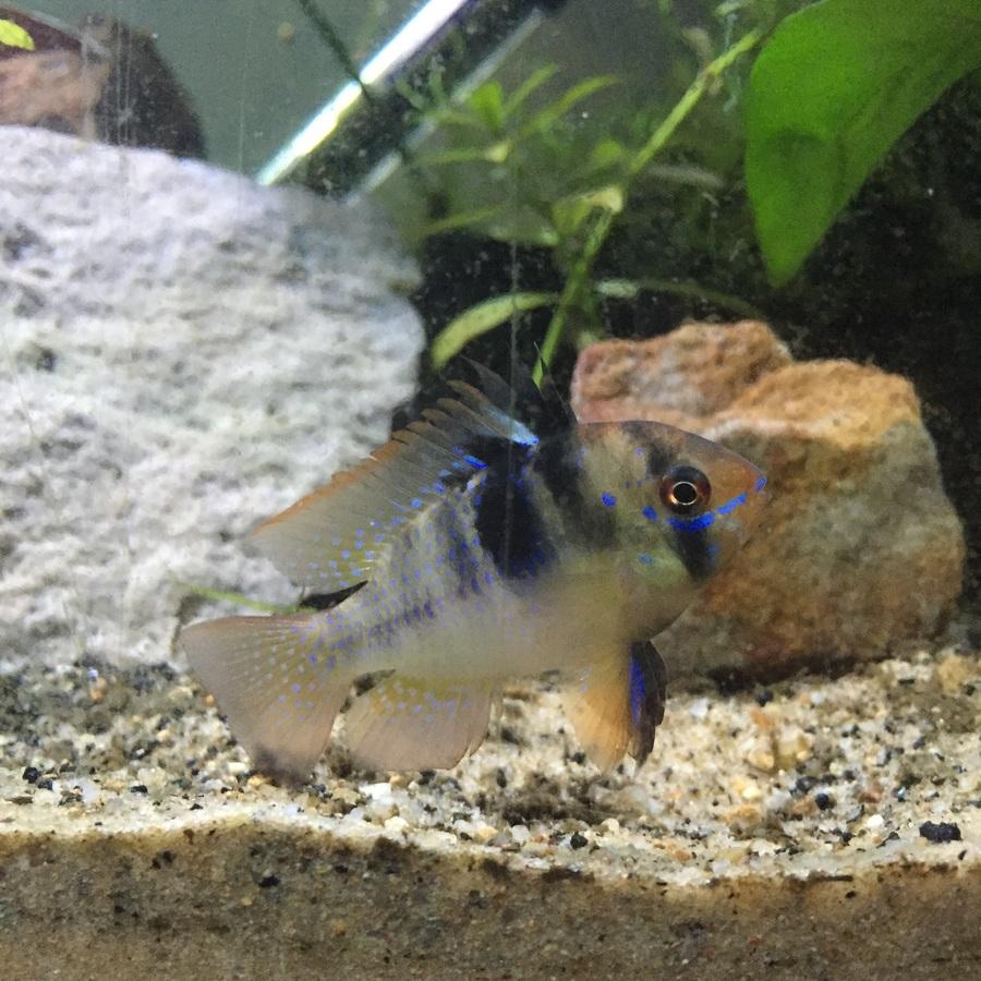 Bolivian Vs German Rams My Aquarium Club