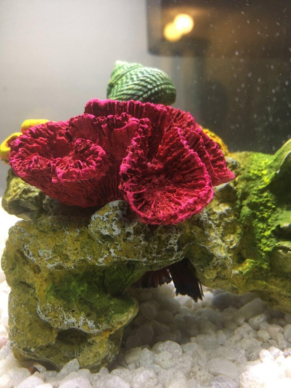 Betta Fish On Its Side   My Aquarium Club