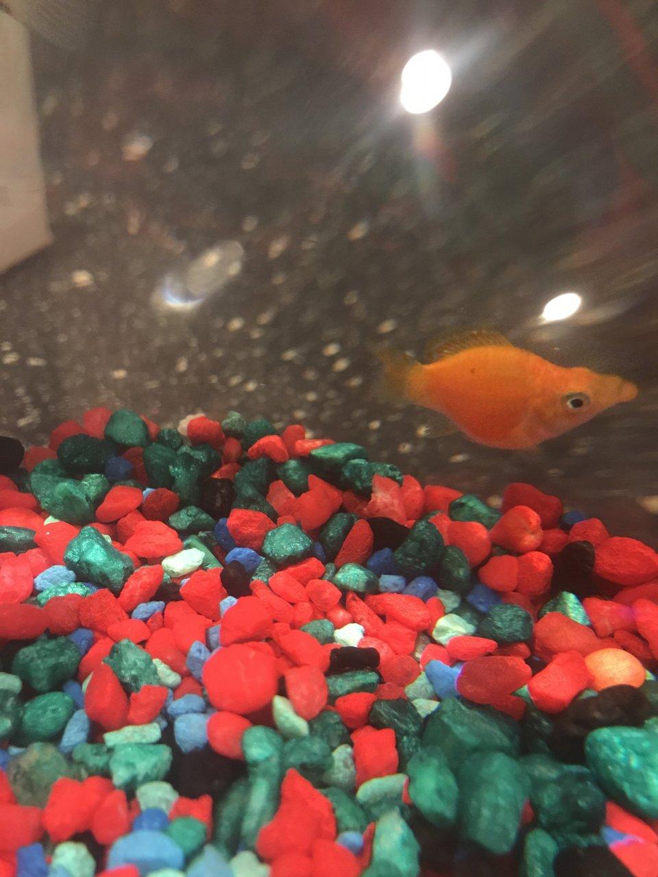 ARE MY MOLLY FISH PREGNANT??? | My Aquarium Club