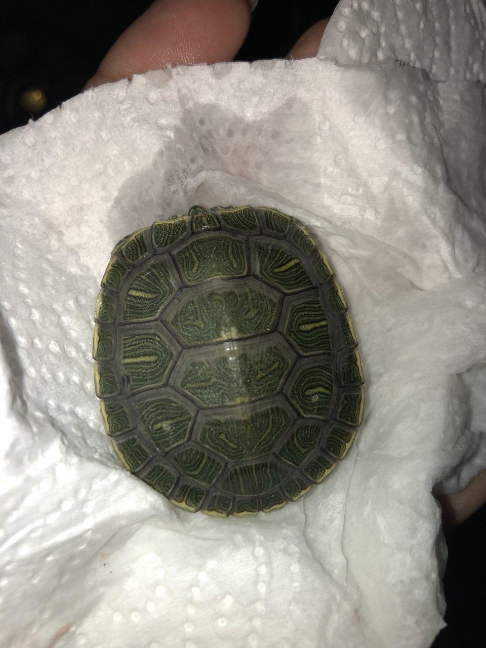 I'm Not Sure If My Turtle Has Shell Rot | My Aquarium Club