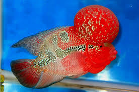 What To Feed My Monster Kok Red Dragon Flowerhorn It Food Got