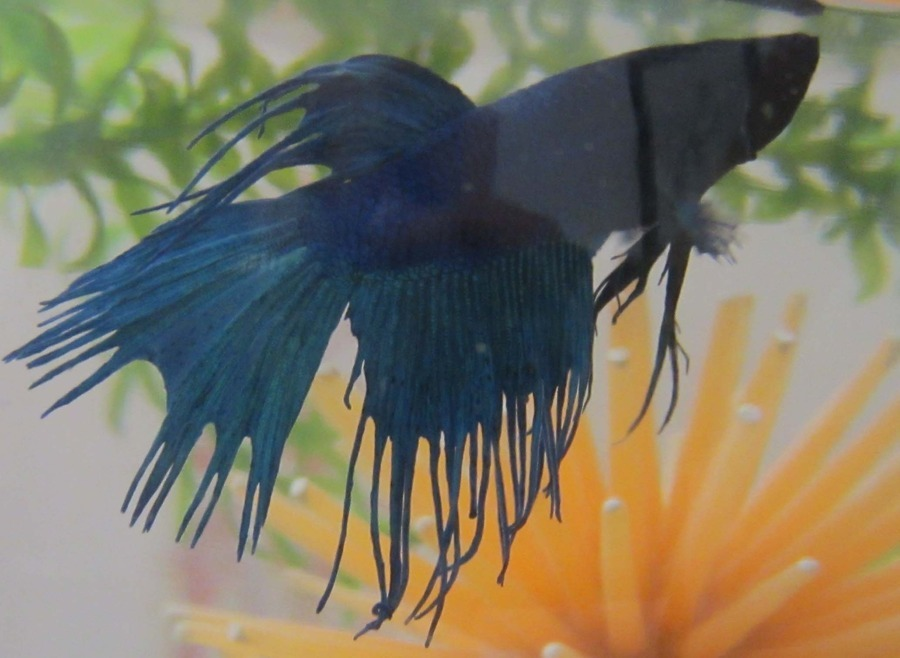 Betta Fish Fin Rot | Medicine Or Water Change For Betta With Fin Rot My Aquarium Club