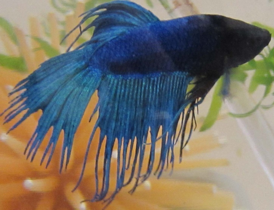 Medicine Or Water Change For Betta With Fin Rot My Aquarium Club