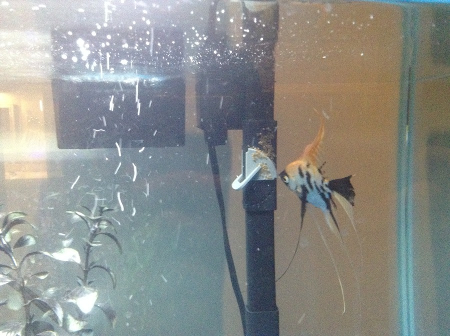 Angelfish Are Eating Eggs Please Help My Aquarium Club,Types Of Shrubs In New England