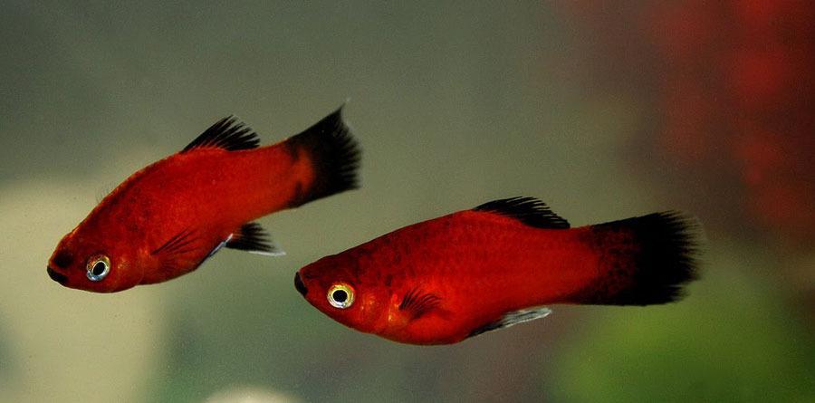 All about platy fish my aquarium club for Platy fish breeding
