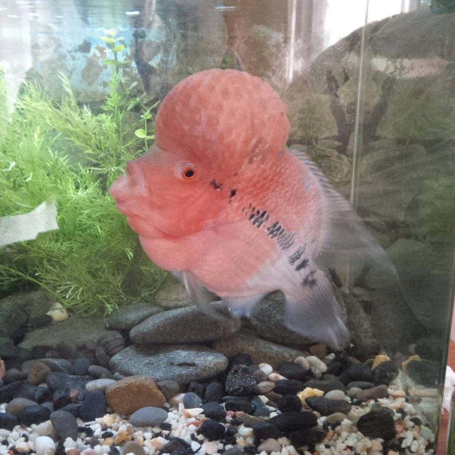 Flowerhorn Not Eating And Is Losing Colour | My Aquarium Club