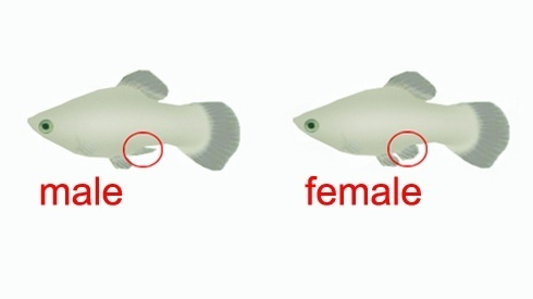 Something is. male and female molly fish remarkable, rather