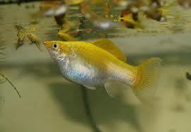 How do u know when a molly fish will give birth my for Molly fish babies