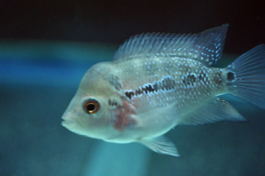 I HAVE BABY FLOWERHORN IDONT KNOW HOW MANY PICE OF PELLETS ...
