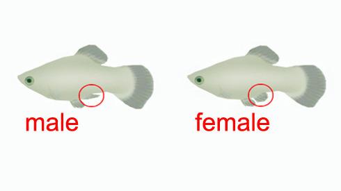 How to sex a bass