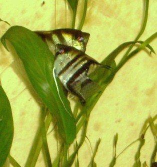 In-Tank Brine Shrimp Hatchery | My Aquarium Club