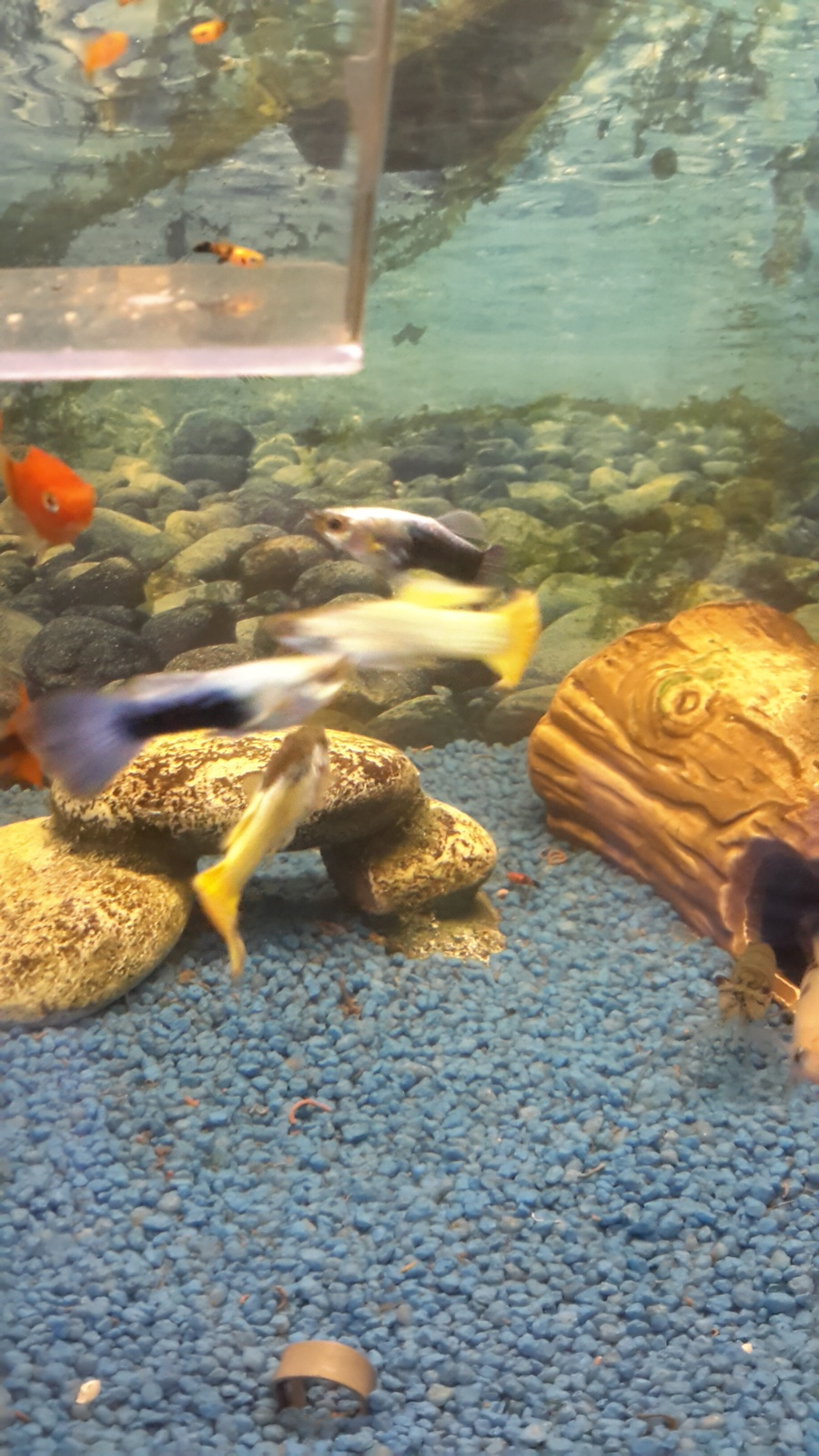 When Do Male Guppy Fry Get Their Colors? | My Aquarium Club