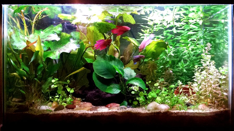 Betta Sororities My Aquarium Club