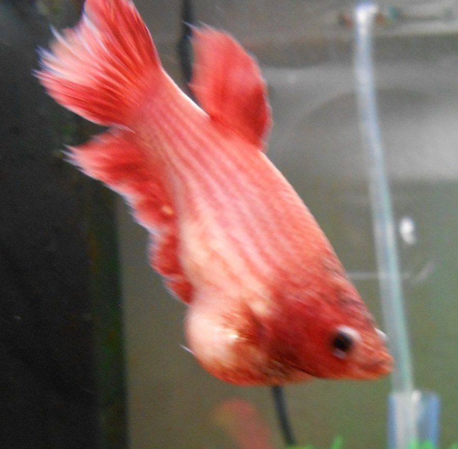 is this dropsy or is femal betta fish full of eggs female