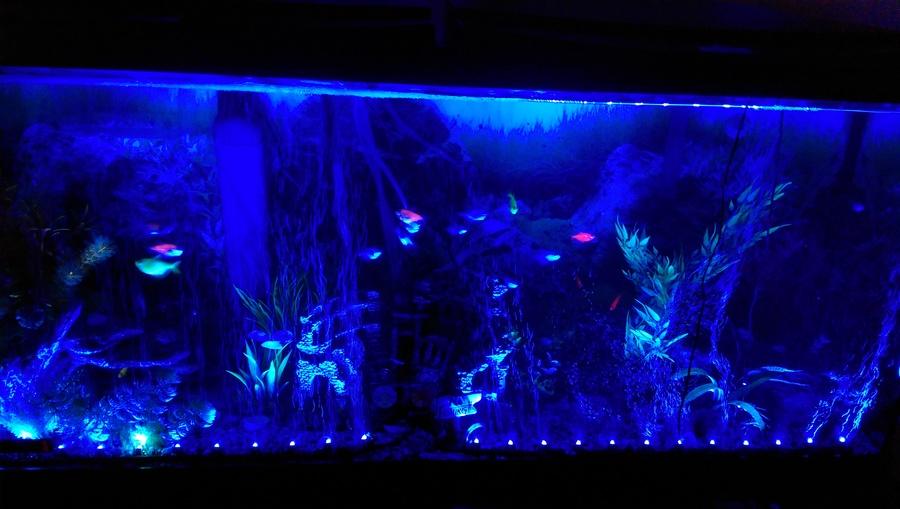 blue light glofish tetras mesmerizing my aquarium club. Black Bedroom Furniture Sets. Home Design Ideas