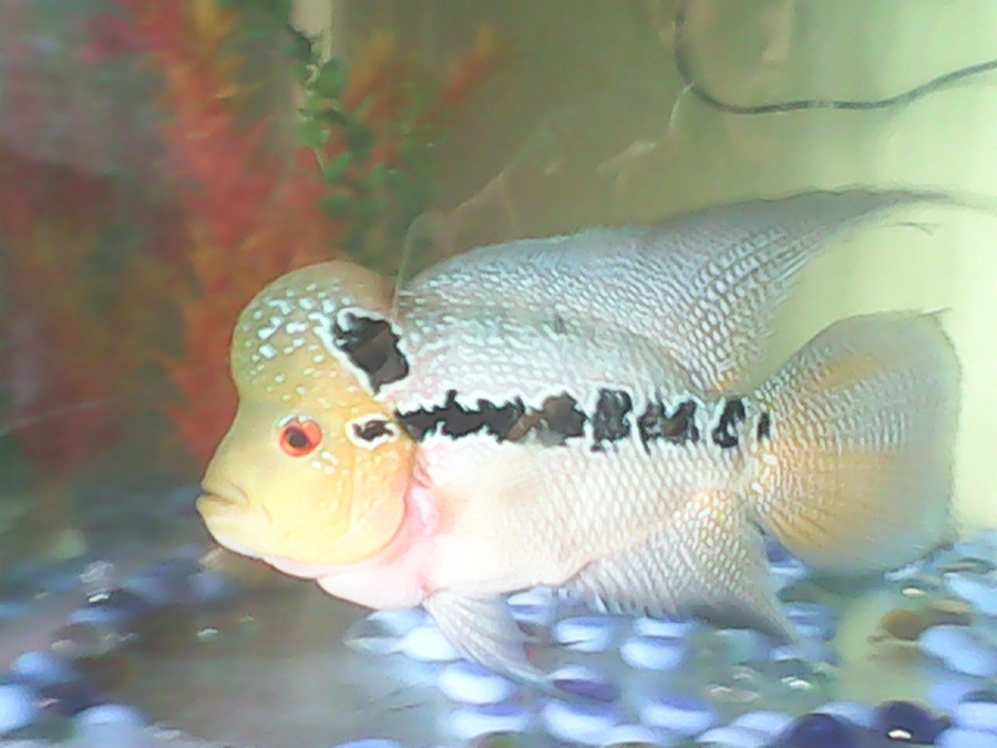 My Flowerhorn Hump | My Aquarium Club