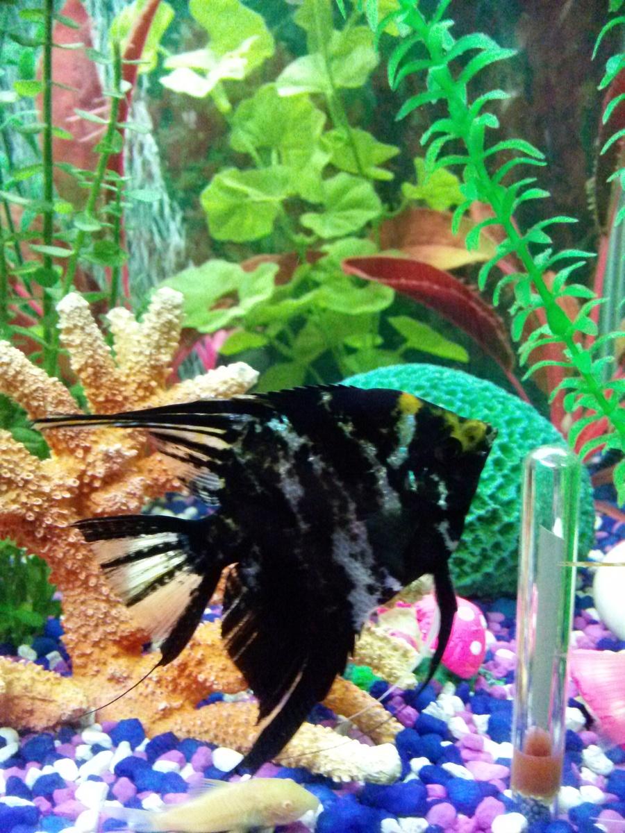Koi Angelfish Male Female