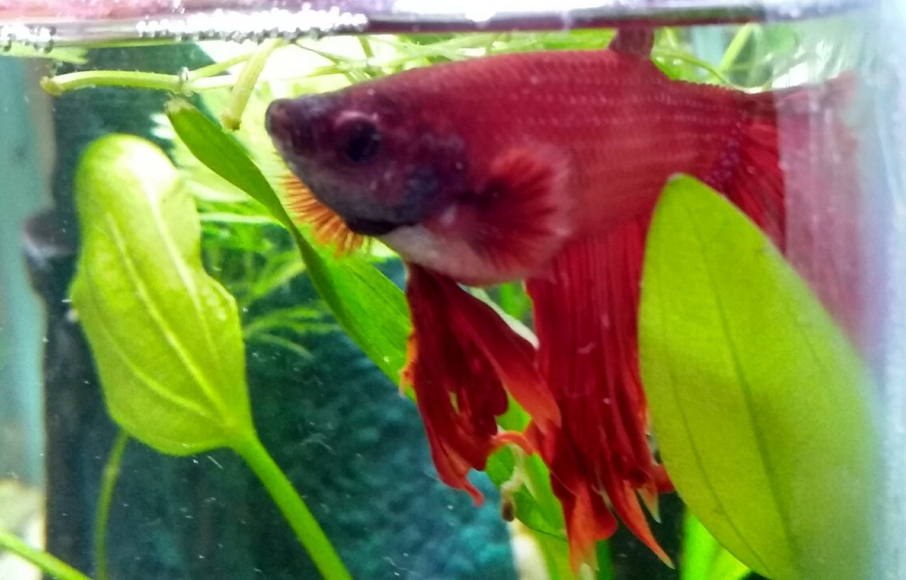 Betta Fish Had White Poop And Swollen Belly My Aquarium Club