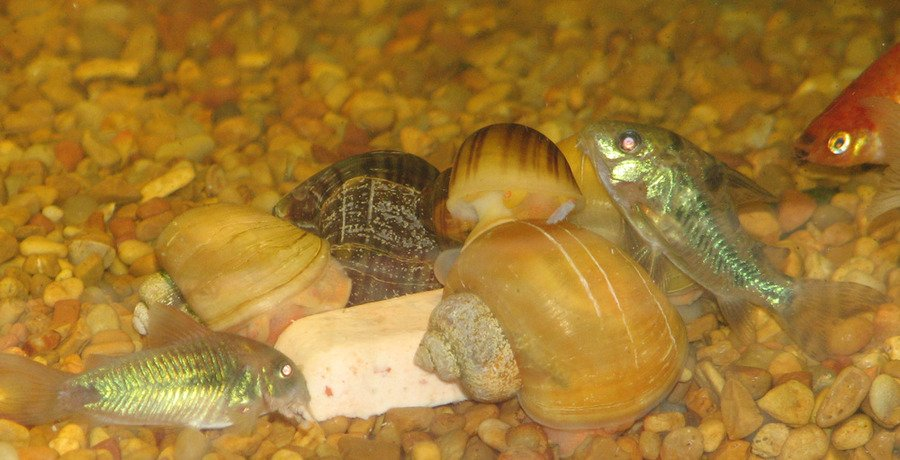 Mystery Snail Food Recipe