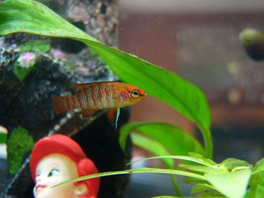 Nano fish for small aquariums my aquarium club for Good fish for small tanks