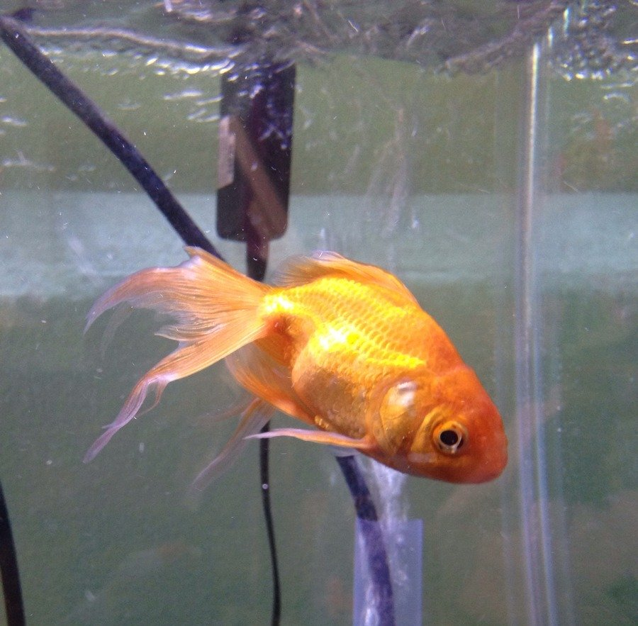Treating Ich Fin Rot In Goldfish Please Help My