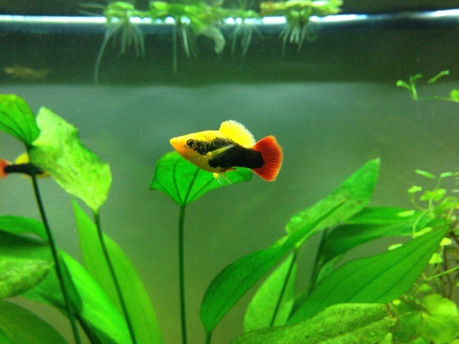 All About Platy Fish My Aquarium Club