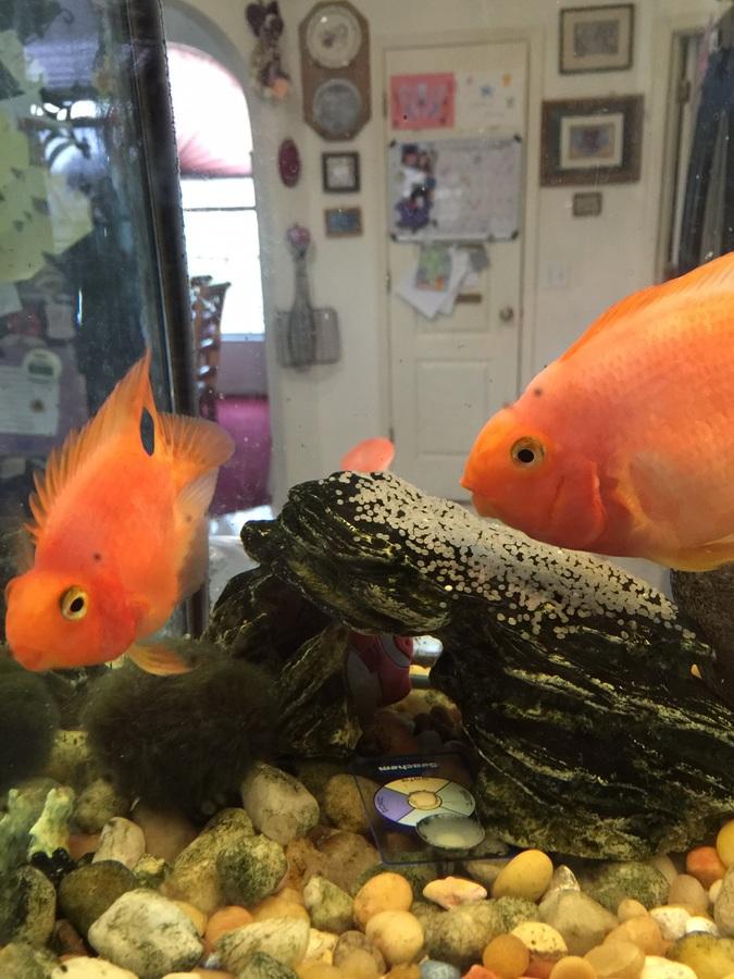 Aninimal Book: I Have 2 Red Parrot Fish One Laid Eggs | My Aquarium Club