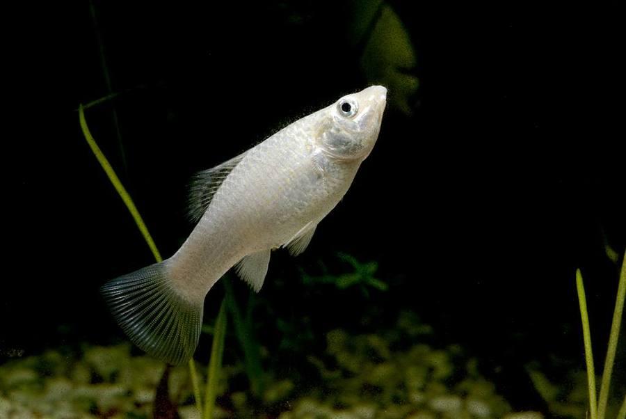 Talk, fish mollies sex